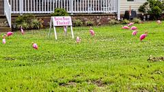 Flocked (augphoto) Tags: augphotoimagery whitmire southcarolina unitedstates unusual outdoors creative unique pink birds flamingos flock ornaments