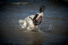 Ok now when I went in the water my ear wasn't like this ! (TrevKerr) Tags: dog englishspringerspaniel spaniel springerspaniel water waterdrops sea