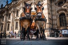 Draft animals of a horse cart (Rambofoto) Tags: dresden sachsen pferde pferdewagen horse germany