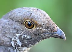 Sage Grouse (garbazo) Tags: sagegrouse grouse grandteton bird nikon d7100 grandtetonnationalpark