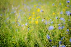 Montesquieu-7_GF (zango-photos) Tags: lotetgaronne randonnée montesquieu ballade paysage campagne 47 été nature fleurs sauvage
