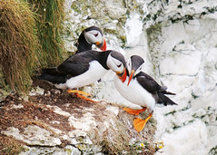 Three of a Kind (Nigel B2010) Tags: bird puffin wildlife nature bempton cliffs south yorkshire trio dance greeting greet summer july cliff colourful colour red white green black orange