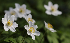 Spring Sunshine (AnyMotion) Tags: woodanemone windflower europeanthimbleweed buschwindröschen anemonenemorosa light licht bokeh floral flowers blossom blüte plant pflanze 2018 anymotion nature natur botanischergarten frankfurt 7d2 canoneos7dmarkii colors colours farben white weis spring frühling primavera printemps botanicalgarden