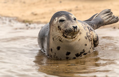 when your smiling (jeff.white18) Tags: greyseal seal water nature wildlife smile nikon flickr