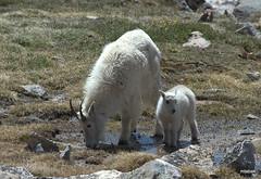 Mountain Goats (miketabak) Tags: