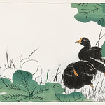 Coot and Lotus illustration from Pictorial Monograph of Birds (1885) by Numata Kashu (1838-1901). Digitally enhanced from our own original edition. thumbnail