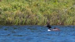 Plongeon huard, Mauricie (5) (boisvertvert1) Tags: plongeonhuard gaviaimmer michelboisvert 2018 lac canon canada canon70d canoneos70d parcnationaldelamauricie québec birds wildlife faune