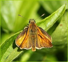 Large Skipper - Prestbury Hill (glostopcat) Tags: largeskipperbutterfly butterfly skipper insect invertebrate macro glos summer butterflyconservation prestburyhillnaturereserve july