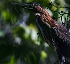 Green Heron (_Lionel_08) Tags: heron bird wild wildlife nature swamp louisiana kalimar 1200mm canon xsi animal