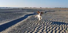 Sunny the spaniel .. symehawk (SYMEHAWK) Tags: spaniel dog ricoh ricohgr symehawk hayling beaches