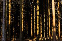 Late Afternoon in the Forest (tewahipounamu) Tags: deutschland eastwestphalia externsteine forest germany naturparkteutoburgerwaldeggegebirge owl ostwestfalenlippe teutoburgforest teutoburgforesteggehillsnaturepark teutoburgerwald tree
