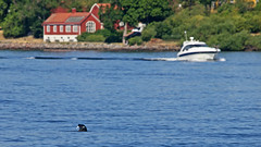 Yes out of focus but I need to show you all :-) A grey seal with a fish in its mouth in Stockholm (Franz Airiman) Tags: halichoerusgrypus säl seal gråsäl greyseal grayseal djur animal saltsjön stockholm sweden scandinavia wild vild kvarnholmen sälis sälx