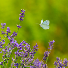 Looking For A Flower To Land On (John Kocijanski) Tags: butterfly cabbagewhitebutterfly insect animal bokeh nature flowers garden wings flight wildlife canon7d canon400mmf56