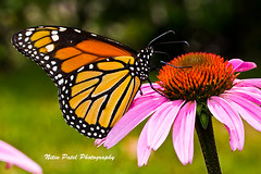 IMG_5875 (nitinpatel2) Tags: butterfly flower nature nitinpatel