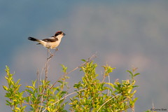 Woodchat Shrike (Corine Bliek) Tags: laniussenator bird birds vogel vogels nature natuur wildlife lesbos lesvos laniidae shrikes