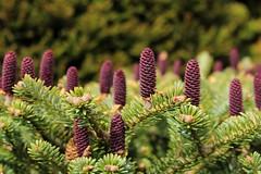 Purple Pine Cones (little.dorota) Tags: purple young pine cones closeup branch spruce spring beautiful loveit tree nature korean fir canon photography 700d jdorota simple