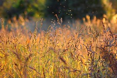 Meadow Sea (Idreamofpies) Tags: chester cheshire meadows summer grass grasses golden insects evening sunset sundown uk england britain gb canon ©idreamofpiesphotography waves glow stalks light