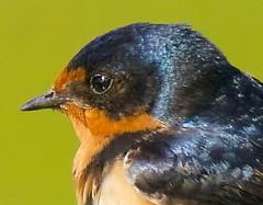 Barn Swallow (richmondbrian) Tags: dncb 201829 tsawwassen reifel