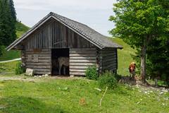Walks on Zwoelferhorn-E7050079 (tony.rummery) Tags: animal austria cattle cow em10 mft microfourthirds omd olympus shed stgilgen zwoelferhorn gemeindesanktgilgen salzburg at