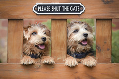 Beware of the dogs!!!!!!!!!!!!!!!!!! (Nathan J Hammonds) Tags: norfolk terrier dog dogs puppy puppies portrait animal fun paws nikon d750 tamron gate fluffy happy cute