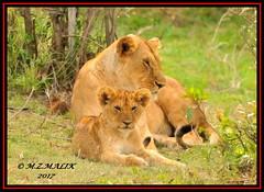 FEMALE LIONESS (Panthera leo) WITH HER CUB......MASAI MARA......SEPT 2017 (M Z Malik) Tags: nikon d3x 200400mm14afs kenya safari wildlife masaimara keekoroklodge exoticafricanwildlife exoticafricancats flickrbigcats leo lioncubs lioness ngc npc