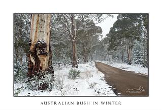 Australian gum trees in the snow