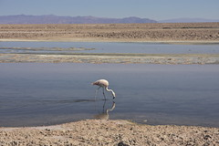 (Jbouc) Tags: southamerica chile chili atacama flamant rose salar reflection flamingo americadelsur amériquedusud desert altiplano