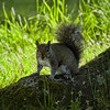 The Alert One (MrBlueSky*) Tags: greysquirrel squirrel animal wildlife nature colour outdoor kewgardens royalbotanicgardens london pentax pentaxart pentaxlife pentaxawards pentaxk1 pentaxflickraward pentaxk1mkii aficionados