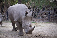 Rinoceronte (Javiera Peralta Toro-Moreno) Tags: bui zoo nikon day dia fotografia photography rinoceronte rhino gris grey animal mamifero mammal
