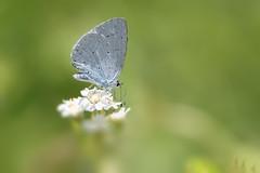 PIC_3888 (kryztophe) Tags: papillon azuré des nerpruns celastrina argiolus butterfly nikon d7200 sigma 150 600
