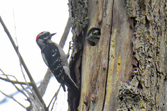 Downy Woodpecker (Dryobates pubescens) male feeding juvenile (R-Gasman) Tags: bird downywoodpecker dryobatespubescens male feedingjuvenile jericho vancouver britishcolumbia canada