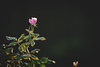 Rose '18 (R24KBerg Photos) Tags: roses morning dawn pink nature canon knockoutrose pretty love petals flower matte 2018