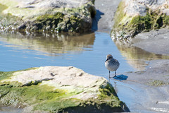 Semi-palmated Sandpiper (hmthelords) Tags: