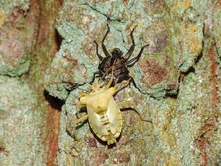 Forest Bug (Pentatoma rufipes), teneral adult