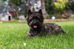 I'm the best dog! :) (szlavid) Tags: dog cairn terrier brown pet animal nikon d7000 nikkor 50mm 18g color