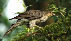 Sparrowhawk, Female, cleaning beak after Meal 1S9A5394 (saundersfay) Tags: sparrowhawk predator prey talons beak feathers