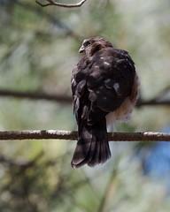 Sharp-shinned Hawk (Tom Clifton) Tags: pointlobos entrancestation ssha raptor hawk