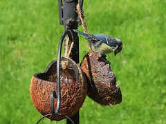 Garden bird - 2 of 2 (Jackie & Dennis) Tags: applecroft keswick garden blue tit