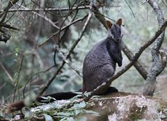 Brush-tailed Rock Wallaby (Petrogale pencillata) (Heleioporus) Tags: brushtailed rock wallaby petrogale pencillata jenolan caves new south wales
