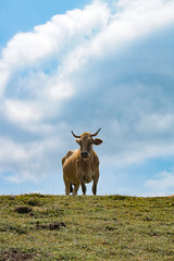 Cow of the Hill (benjamin.t.kemp) Tags: animal cow hill nature france sky pyreneese farmanimal domestic