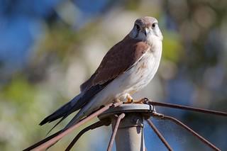 Falconidae - Nankeen Kestrel