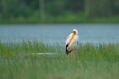 Yellow billed stork (Mujtaba Hussain Shah) Tags: yellow billed stork lake kenya africa wood ibis wetlands african explore natgeo wildlife nakuru