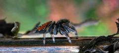 The Traveler (tisatruett) Tags: ngc spider arachnid jumpingspider jumper wildlife nature bokeh macro