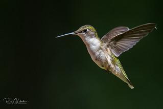 Ruby-throated hummingbird - Archilochus colubris   2018 - 3