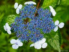 P5313064-Edit.jpg (marius.vochin) Tags: googlevision asia nature flower blue closeup floweringplant flora travel hydrangeaceae hydrangeaserrata kobe trip lilac hydrangea plant japan labels himejishi hyōgoken jp