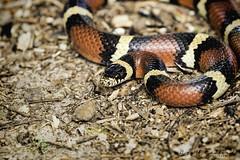 Scarlet King Snake 02 (Scott Sanford Photography) Tags: 80d canon ef100400mmf4556lii eos kingsnake naturalbeauty naturallight nature outdoor redandblack texas topazlabs wildlife reptile snake