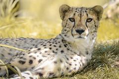 Ambiance dorée (Scholt's) Tags: guépard félin felini bigcat cat nikon d7000 or eyes beauval zoo france loiretcher