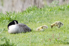 Peaceful (wildcatlou) Tags: nature wildlife birds spring waterfowl nisquallynationalwildliferefuge outdoors babies goslings canadagoose water