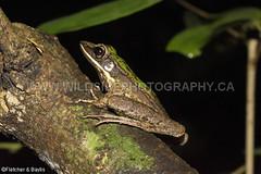 41371 Hose's Rock frog (Odorrana hosii) by a stream in lowland rainforest, near Ipoh, Perak, Malayisa. IUCN=Least Concern. (K Fletcher & D Baylis) Tags: wildlife animal fauna amphibian frog ranidae treefrog greentreefrog hose'sfrog hosesrockfrog poisonousrockfrog odorranahosii lowlandrainforest leastconcern perak malaysia asia june2018 hosesfrog