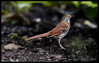 Brown Thrasher at Shaw Nature Reserve